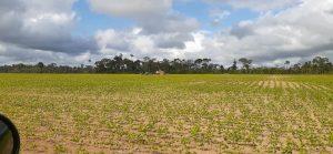 Plantação de soja em Belterra (Gabriel Siqueira)