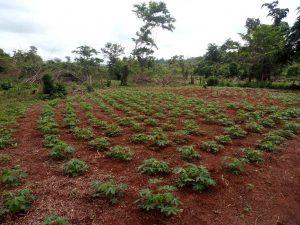 Plantação de mandioca no Acampamento Boa Esperança (CPT/MT)