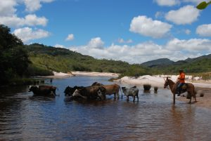 Criação do gado a solta, sem cercas - (Crédito Fernanda Monteiro/Acervo Codecex)